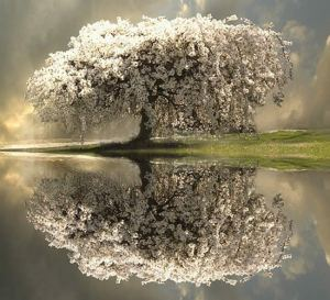 white_tree_water_reflection